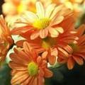 Photos: 【09月10日の誕生花】ポットマム  【花言葉】『高潔なる愛』  【詳細】...