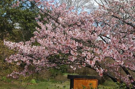 満開の寒桜(カンザクラ)