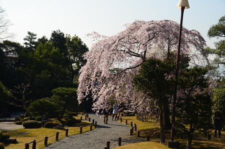 枝垂れ桜咲く友禅苑