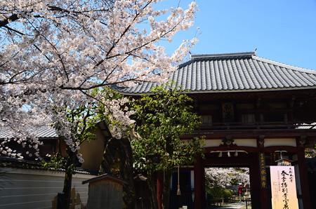 染井吉野咲く本法寺