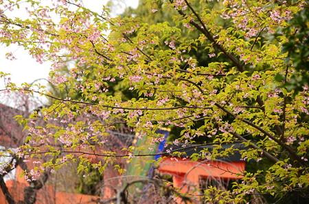 葉が出た河津桜(カワヅザクラ)