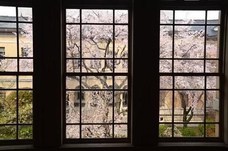 窓越しの枝垂れ桜