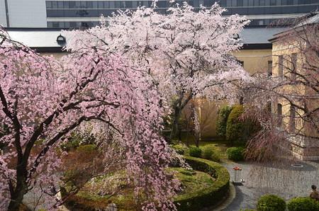 紅枝垂れと枝垂れ咲く府庁旧館