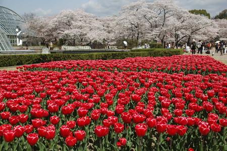 染井吉野とチューリップの府立植物園