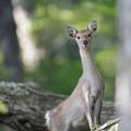 五葉山の鹿