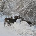 Photos: 日本鹿   IMG_9367