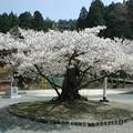 写真: 福井県若狭町 楊貴妃桜#1