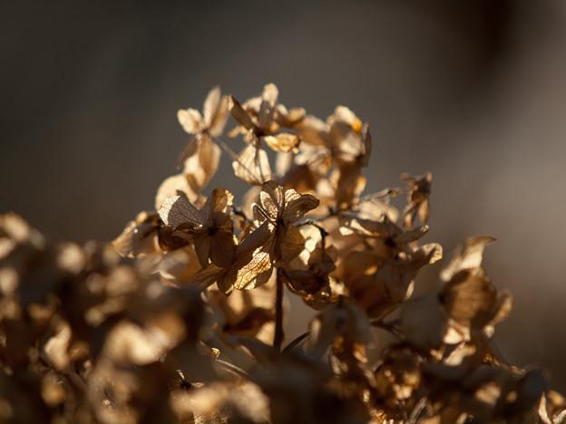 冬の紫陽花(3)