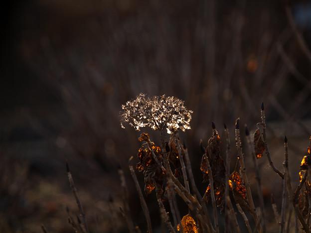 冬の紫陽花(4)