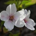 Photos: 春色のキスマーク