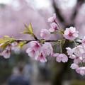 Photos: 安行桜