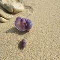 写真: 貝がら