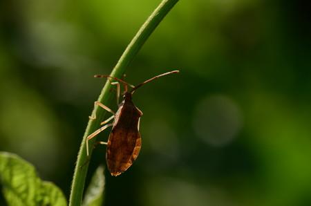 ヘリカメムシ科 ホシハラビロヘリカメムシ
