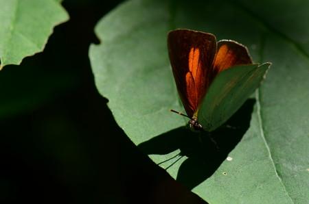 シジミチョウ科 ウラギンシジミ♂