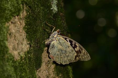タテハチョウ科 オオムラサキ♀