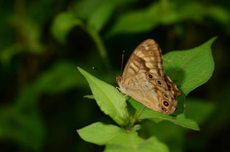 タテハチョウ科 ヒメキマダラヒカゲ