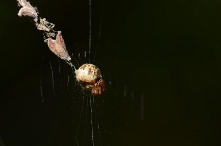 コガネグモ科 マルゴミグモ♀