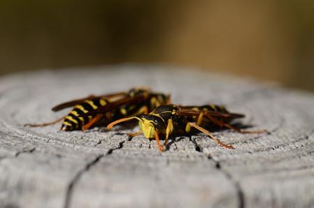 スズメバチ科 フタモンアシナガバチ♂