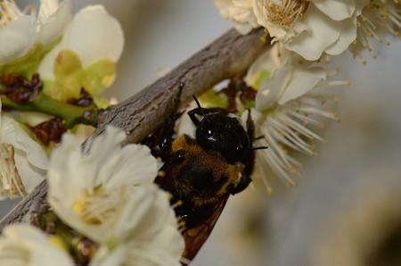 ミツバチ科 クマバチ