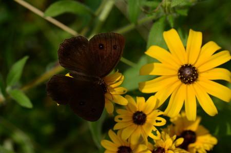 タテハチョウ科 ジャノメチョウ♂