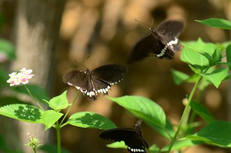 アゲハチョウ科 シロオビアゲハ♂♀