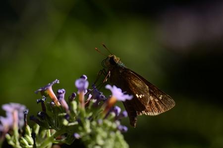 セセリチョウ科 イチモンジセセリ♂