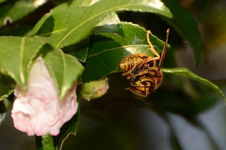 スズメバチ科 キイロスズメバチ♀