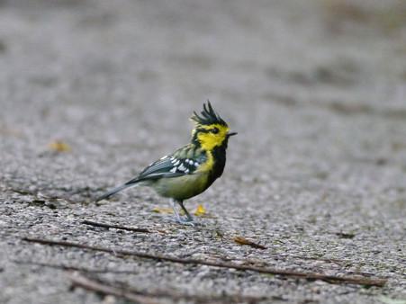 セボシカンムリガラ(Yellow-cheeked Tit) P1200178_R