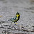 Photos: セボシカンムリガラ(Yellow-cheeked Tit) P1200178_R