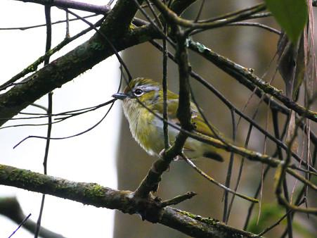 クリビタイモズチメドリ♀(Chestnut-fronted Shrike-babbler) P1200462_R