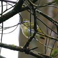 Photos: クリビタイモズチメドリ♀(Chestnut-fronted Shrike-babbler) P1200462_R
