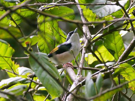アカバネモズチメドリ♂(White-browed Shrike-babbler) P1200638_R