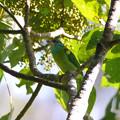 Photos: アオノドゴシキドリ(Blue-throated Barbet) P1200948_R