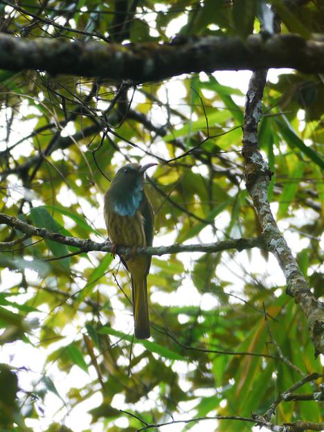 Photos: アオムネハチクイ(Blue Beared Bee-eater) P1200966_R