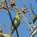 Photos: ハシブトアオバト♀(Thick-billed Green Pigeon) P1210967_R