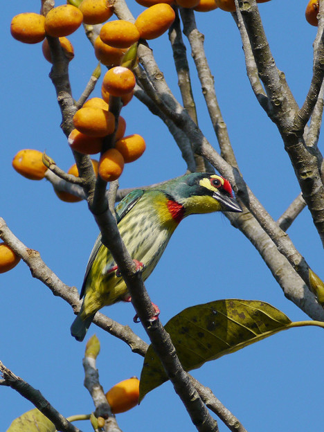 Photos: ムネアカゴシキドリ(Coppersmith Barbet) P1210740_R