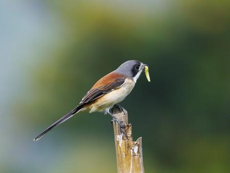 ハイガシラモズ(Burmise Shrike) P1230418_R2