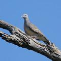 写真: チョウショウバト(Zebra Dove) P1240928_Rs