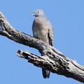 写真: チョウショウバト(Zebra Dove) P1240937_Rs