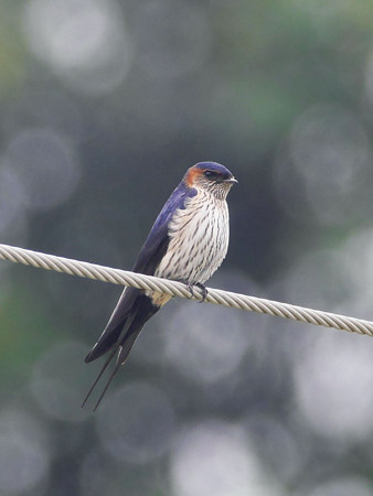 コシアカツバメ(Striated Swallow) P1040055_Rs