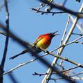 写真: ルリオタイヨウチョウ(Gould's Sunbird) P1050377_Rs