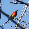 写真: ルリオタイヨウチョウ(Gould's Sunbird) P1050381_Rs