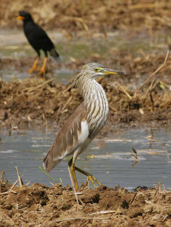 アカガシラサギ(Chinese Pond-heron) P1070310_Rs