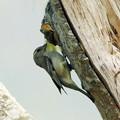 Photos: キツツキみたいな野鳥 P1080078_Rs