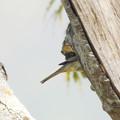 Photos: キツツキみたいな野鳥 P1080066_Rs