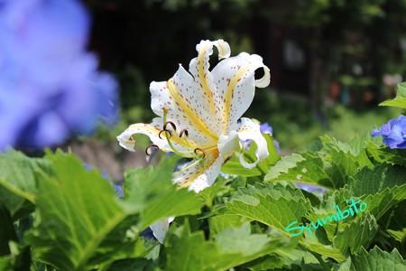 蔵王 紫陽花に囲まれて