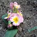 Photos: 最初の花