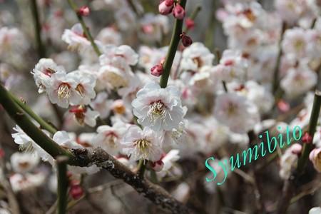 2013年4月14日 梅の花