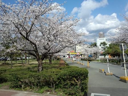 山大医学部病院 病院内の桜