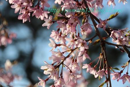 桜 品種は??